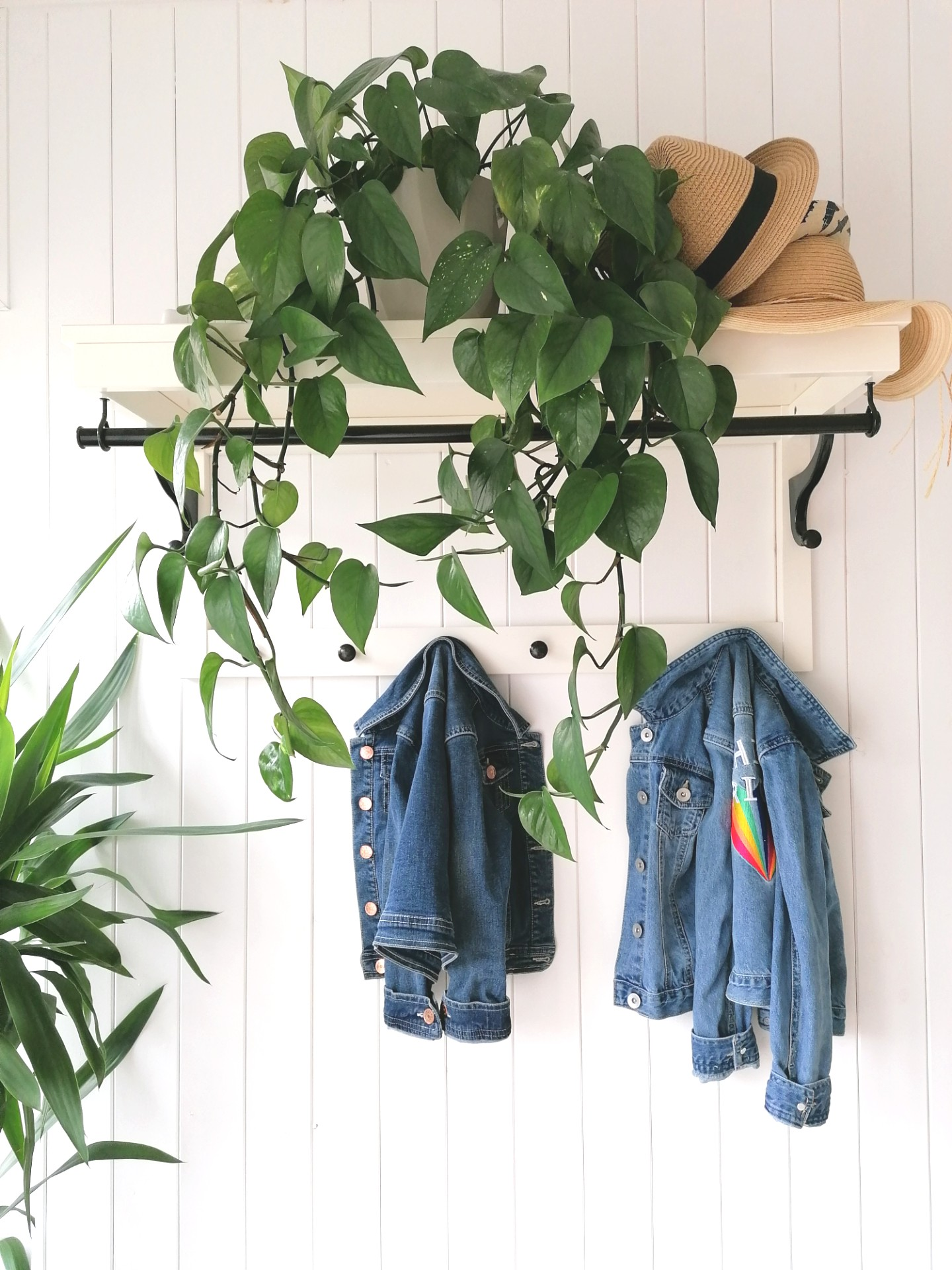 Trailing Pothos plant, a low maintenance houseplant, easy to keep alive