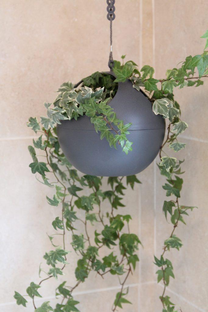 Ivy in Elho hanging basket in the bathroom. Very low maintenance
