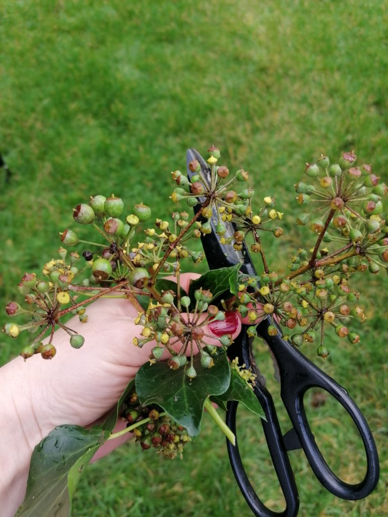 Greenery from the garden for the arrangement - ivy buds