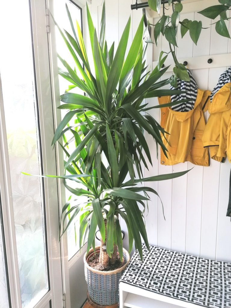 Dracaena plant, thriving here in the corner with indirect sunlight