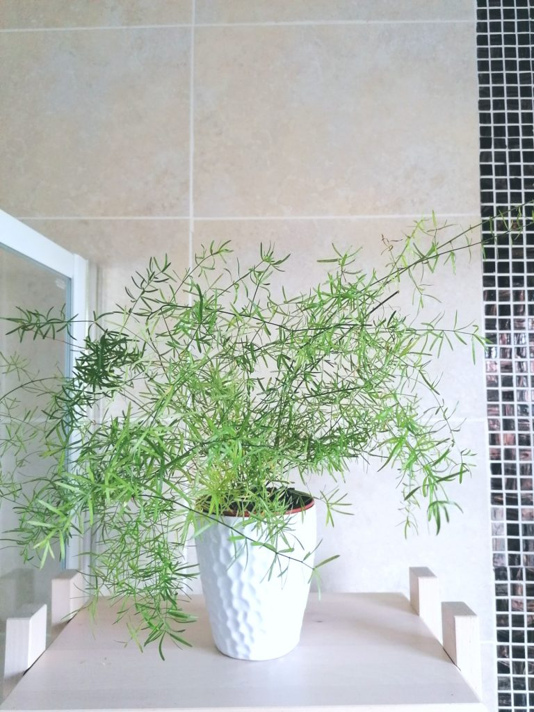 Asparagus fern, very easy plant to keep alive and to divide and create other plants.